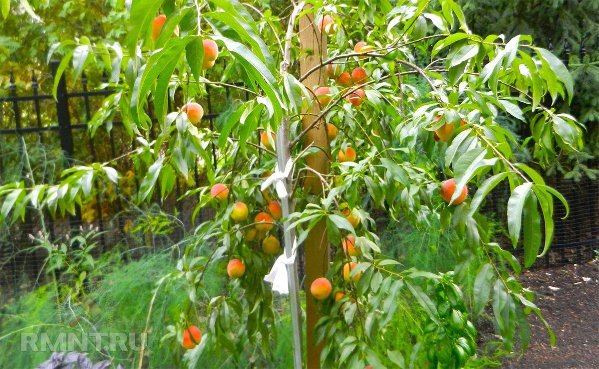 Плодоношение персика