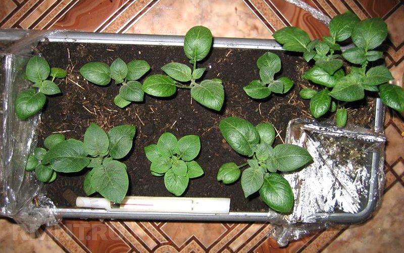 вырастить картофель из семян Муранскаго