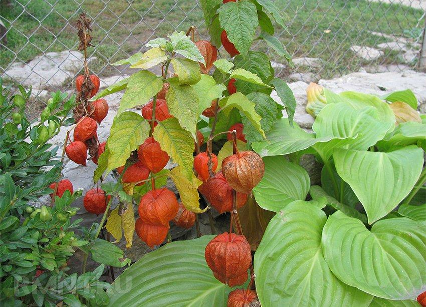 Выращиваем физалис: изумрудная ягода на вашем участке